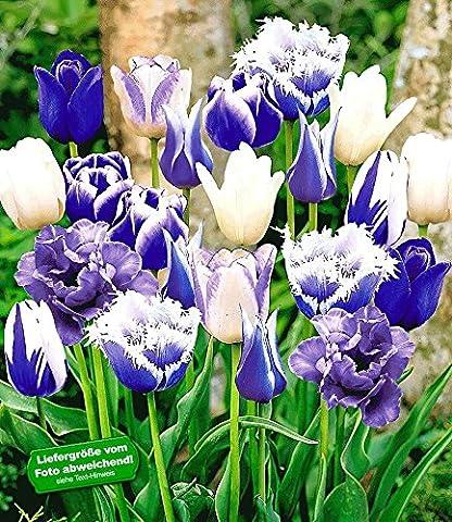 BALDUR-Garten Tulpen-Mix 'Blue Blend', 30 Zwiebeln