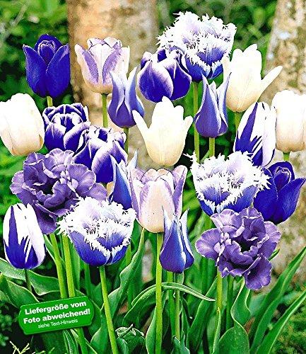 Produkt-Bild: BALDUR-Garten Tulpen-Mix 'Blue Blend', 10 Zwiebeln