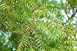 Niembaum Azadirachta indica Neembaum Pflanze 20cm Margosa Nimtree sehr selten
