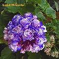 Schlussverkauf! 5 PCS -Rare 'Night Blue' Geranium Samen Appleblossom Rosebud Pelargonium von SVI bei Du und dein Garten