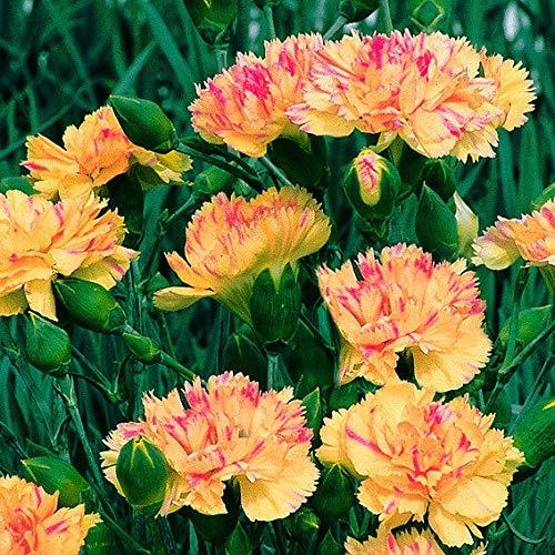 Yukio Samenhaus - 50pcs Nelke 'Fantasy' - Saat Gartennelken Pfingstnelke Blumensamen mehrjährig winterhart in Steingärten oder auf Mauerkronen