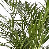 Areca maceta 14cm. - Altura aprox.70cm. - Planta viva - (Envío sólo a Península)