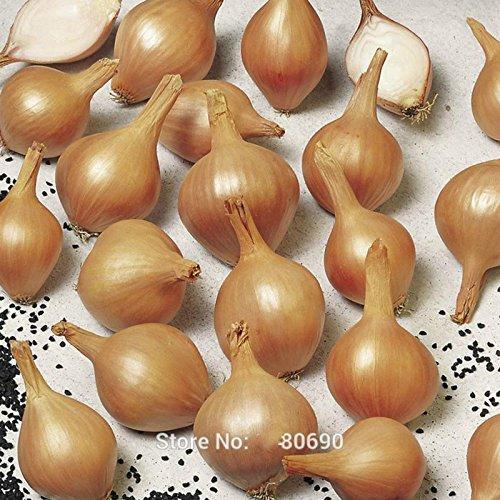Paquet d'origine 100 graines / Pack, Four Seasons Oignon Graines Ciboulette Balcon pot Légumes Echalote Dans Bonsai Plantting Pour la ferme