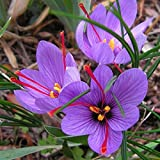 #8: M-Tech Gardens Crocus sativus