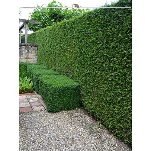 Gardline - Lebensbaum Thuja plicata Martin 120-140 cm, Wurzelballen | Ab 10 St. + inkl. Versand - 100 St.