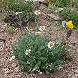 Portal Cool Richteria Pyrethroide - Selten-Angeboten Schöne Alpine Perennial