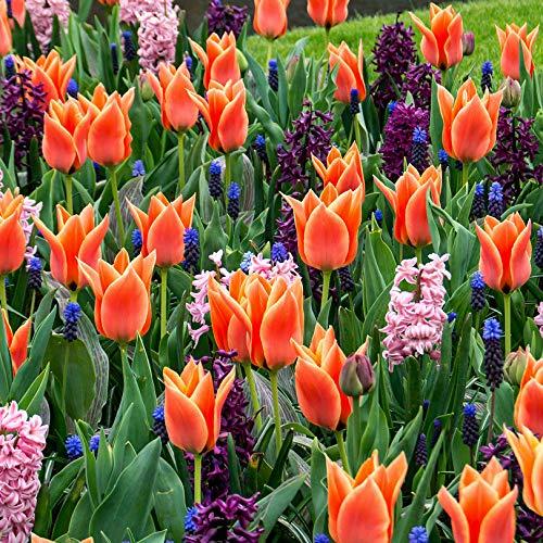 Zwiebelblumen Beet-Mix Lila/Orange - 25 Stück Blumenzwiebeln, Direkt von holländischem Boden