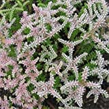 PLAT FIRM Germinazione dei semi: A) 1000 semi: semi Outsidepride Sedum Seastar Siccità tollerante Ground Cover