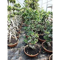 Blumen Senf Bonsai Ficus microcarpa Ginseng 100-110 cm Chinesische Feige