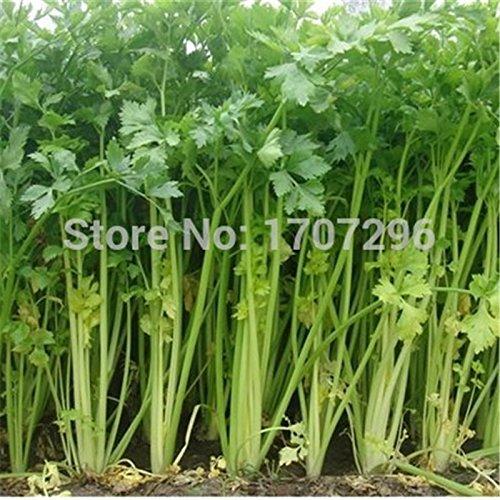 nouvelle-arrivee-jardin-des-plantes-50-graines-peperoncino-tabasco-semi-capsicum-frutescens-chilli-p