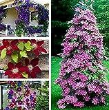 AIMADO 50 Stücke Clematis Blumensamen Mehrjährige Reben Perennial Blumen Climbing Clematis Pflanzensamen Garten Dekoration