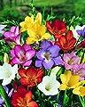 Freesien, Farbmix, 5/6, 4x15 Zwiebel - zu dem Artikel bekommen Sie gratis ein Paar Handschuhe für die Gartenarbeit dazu von Dominik Gartenparadies auf Du und dein Garten