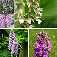British Native Orchids Bundle - Dactylorhizas, Spiranthes, Epipactis Garden Orchids Assortment - Perennial Hardy Orchids for your Garden