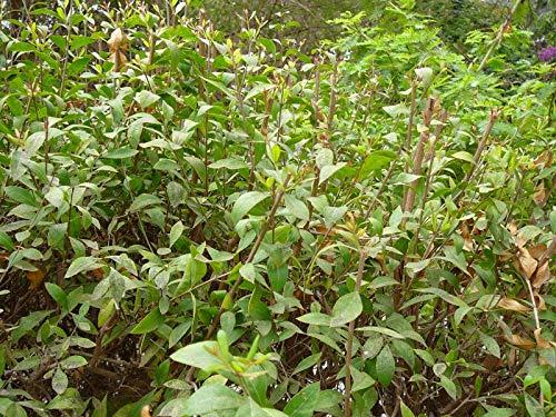 PLAT FIRM GERMINATIONSAMEN: 2000 Lawsonia Inermis-Samen, Henna-Pflanzensamen, Mehandi-Farbstoff-Pflanzensamen