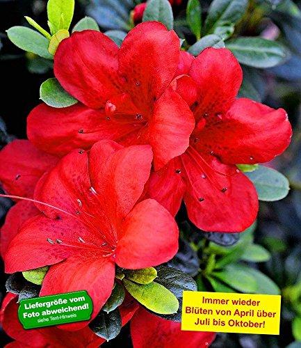 BALDUR-Garten Durchblühende Azalee