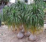 Nolina recurvata (syn: Beaucarnea recurvata) - Flaschenbaumlilie - Elefantenfuss - 50 Samen