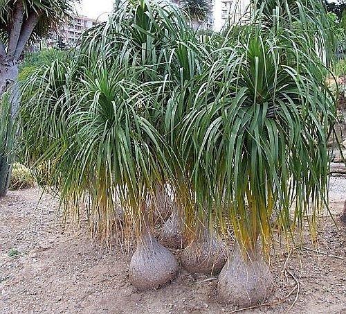 Flaschenbaumlilie - Elefantenfuß - Nolina recurvata (syn: Beaucarnea recurvata) - 10 Samen