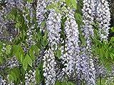 Chinesischer Blauregen - Wisteria sinensis - raschwüchsig, duftend - 40-60 cm