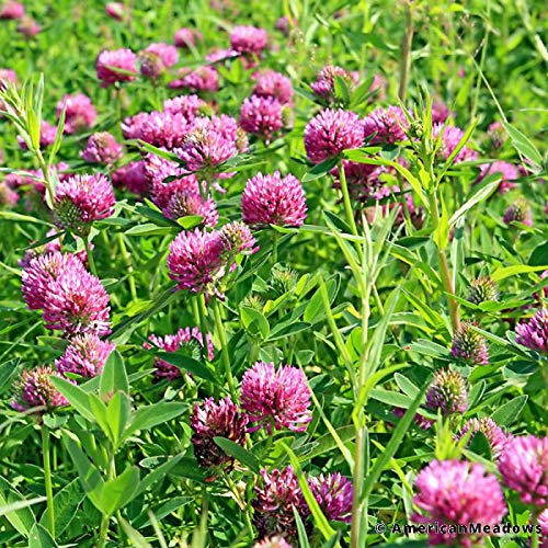 graines de trèfle rouge, trèfle des prés, trifolium pratense pour tortues