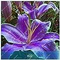 ZLKING 2 Stück Amaryllis Bonsai-Birnen Barbados Lily Nicht Samen Balkon Blumen Hippeastrum Birne hydroponische Wurzel Topfpflanzen 22 Blumen