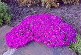 Teppich-Phlox rot. 5 Stauden - zu dem Artikel bekommen Sie gratis ein Paar Handschuhe für die Gartenarbeit dazu