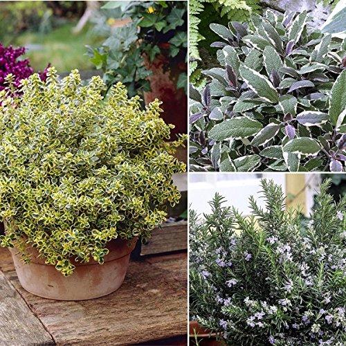 Dominik Blumen und Pflanzen, Mediterrane Duft-Kräuter-Pflanzen: Salbei, Thymian, Rosmarin, je 1 Pflanze (Pflanzung Kräuter-töpfe)