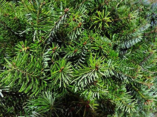 10 Stk. Nordmanntanne Borshomi – (Abies nordmanniana Borshomi) Topfware 12-18 cm 4 jährig