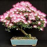 25Albizia Julibrissin Baumsamen (MIMOSA / Persischer SILK BAUM) - Mini vergossen Bonsai, DIY Hausgarten, große Förderung