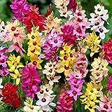 Humphreys Garden Ixias Mixed x 50 Bulbs Bulbos de Flores