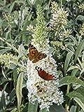 Dominik Blumen und Pflanzen, Sommerflieder, Buddleia davidii ' White Profusion', weiß blühend, 1 Pflanze, 2-3 triebig, 30-40 cm hoch, 2 Liter Container