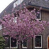 """Flowering Cherry """"Kanzan"""" Bare Root Tree 1M"""