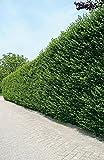 Ovalblättriger Liguster -Ligustrum Ovalifolium- Hecken-Pflanze immer-grün wurzelnackt - Ligusterhecke von Garten Schlüter (wurzelnackt 50-80 cm im 10er Bund) - Pflanzen in Top Qualität