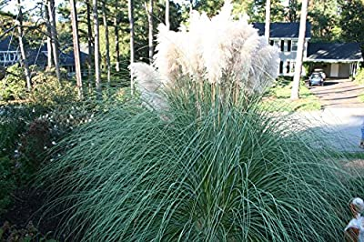 Pampasgras- Cortaderia selloana Pumila- Gesamthöhe: 40-50cm, topf: 2 ltr.