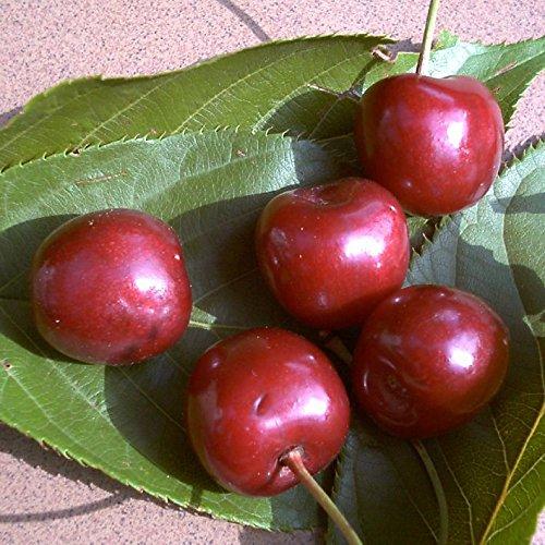 Große Schwarze Knorpelkirsche, Kirschbaum Buschbaum, Prunus avium, Obstbaum winterhart, Kirsche rot, im Topf, 120 - 150 cm