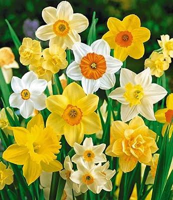 BALDUR-Garten 100 Tage-Narzissen-Mix, Osterglocken, 35 Zwiebeln Narcissus von Baldur-Garten auf Du und dein Garten