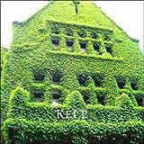 Green Seeds Co. 100 Teile/paket Neue Ankunft!Efeu Plantas (Cymbalaria Muralis) Bonsai Pflanze DIY Hausgarten Blume Pflanzen