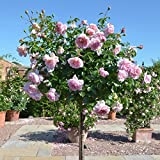 Primrose Gardens Rare Grafted English Tree Rose Plant WILDEVE Pink Color 1 Healthy Live Plant