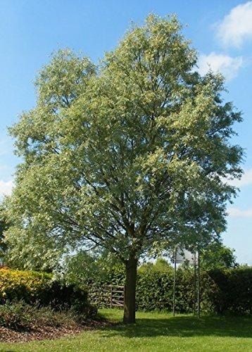 Baum des Jahres 1999 - Silberweide im Container Größe 100 bis 125 cm