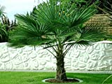 Trachycarpus fortunei ca. 220-250 cm. Frostharte Hanfpalme bis -17 Grad