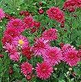 Winteraster Cinderella - Chrysanthemum Indicum von Baumschulen bei Du und dein Garten