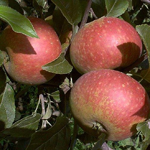 Apfel Malus Domestica