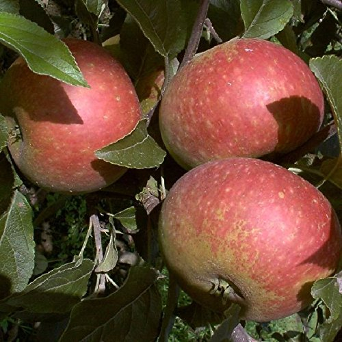 Apfel ca 7,5