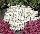 Pinkdose500 Seeds Rock Cress, Schneewittchen - Wall Rock Cress, Bodendecker