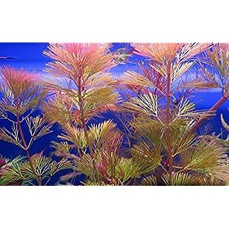 Biotope Aquatics Ltd - 5 x RED CABOMBA Live tropical aquarium plant pink fern for fish tank cabomba piahyensis 10