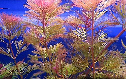 Biotope Aquatics Ltd - 5 x RED CABOMBA Live tropical aquarium plant pink fern for fish tank cabomba piahyensis 1