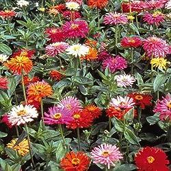 Sperli Blumensamen Zinnien Sonnenstrahl-Mix, grün