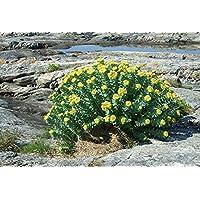 Asklepios-seeds® - 100 Semillas de Rhodiola rosea Rhodiola rosea