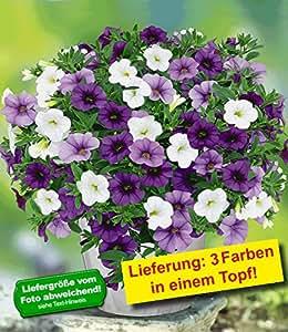 BALDUR-Garten Zauberglöckchen-Mix Trixi 'Shades of Blue',3 Töpfe Calibrachoa blau weiß flieder 3 Farben in einem Topf Petunia Minipetunie für Balkon und Terrasse
