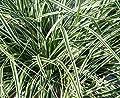 4 x Immergrüne Ziergräser (Ziergras / Gräser / Ziergräser) 2,99 € pro St von Stauden Gänge - Du und dein Garten