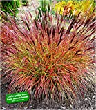 BALDUR-Garten Chinaschilf'Red Chief' 1 Pflanze Miscanthus sinensis winterhart Chinagras